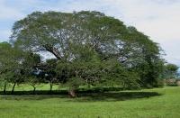 alajuelenses-arbol-de-guanacaste