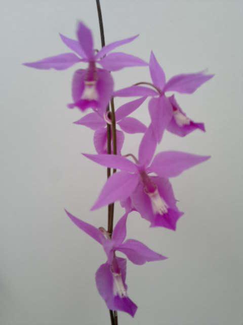orquidea-costa-rica-barkeria-lindleyana