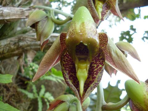 orquidea-costa-rica-catasetum-maculatum-masculina