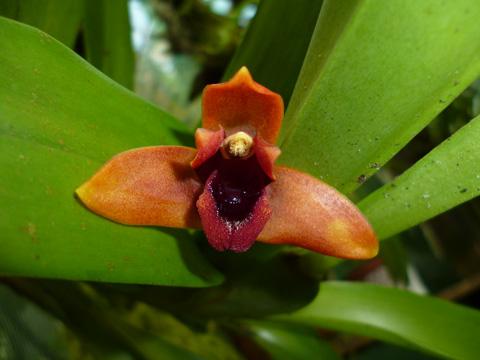 orquidea-costa-rica-maxillaria-elatior